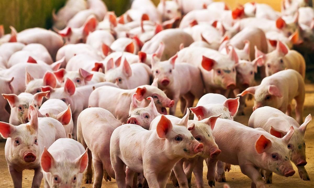 China: Un nuevo virus con potencial de pandemia está presente en los cerdos  | Carlos Paz Vivo