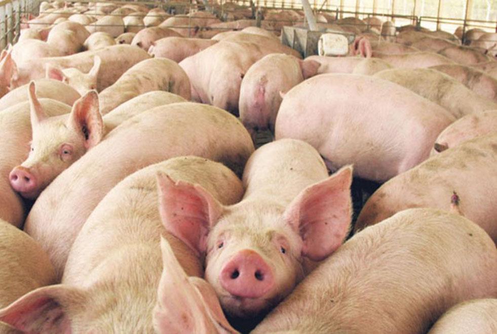 Córdoba comienza la exportación de carne de cerdo a China