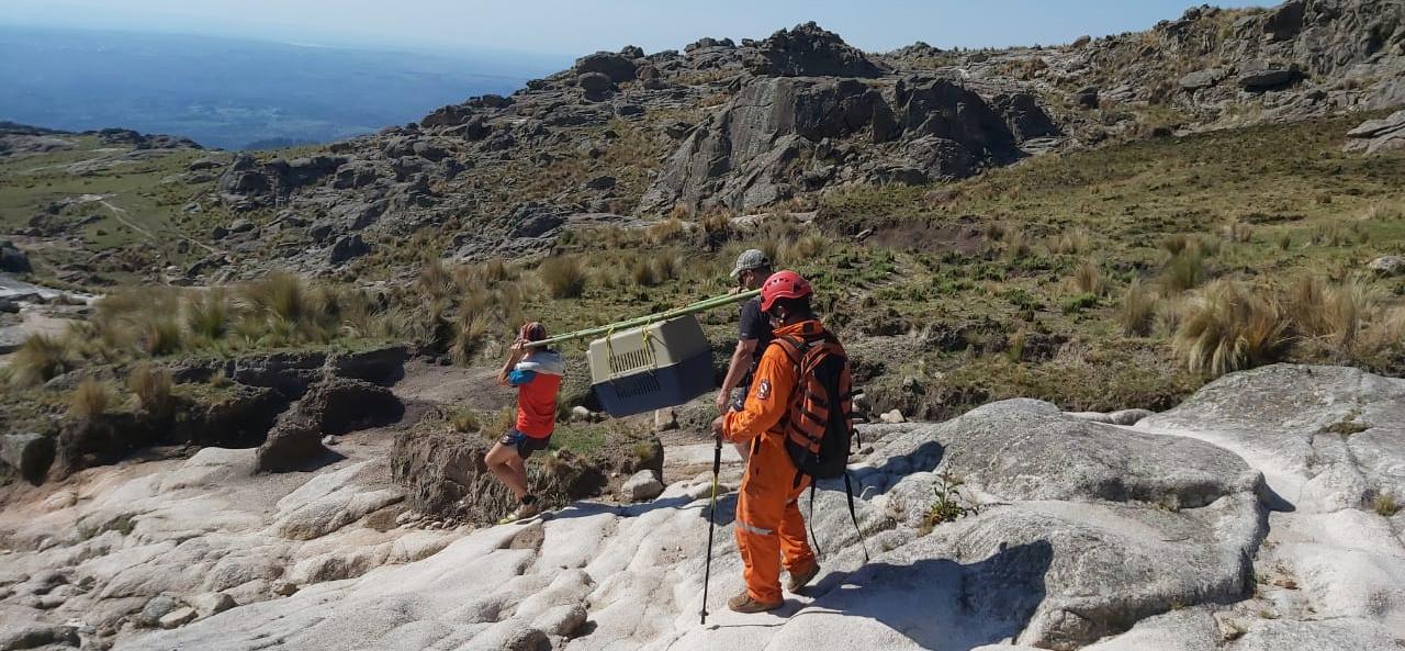 Rescataron a un cóndor andino herido en cercanías de Villa Alpina