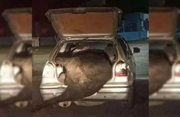 Saquearon un camión volcado que llevaba ganado: Hasta cargaron una vaca en un baúl