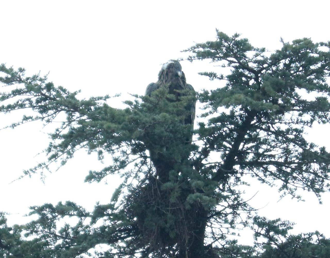 Un cóndor se mudó a un pino de una casa de San Antonio de Arredondo